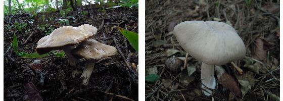 외대덧버섯(식용, 왼쪽)과 외대버섯(독버섯)