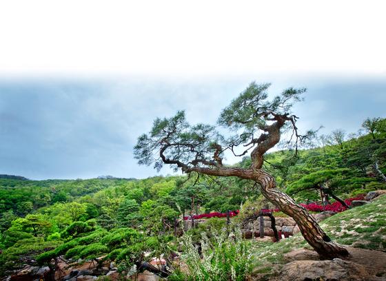 화담숲의 '미완성 소나무 정원'. 명품 소나무를 예술 작품처럼 감상하며 산책하는 정원이다. [중앙포토]