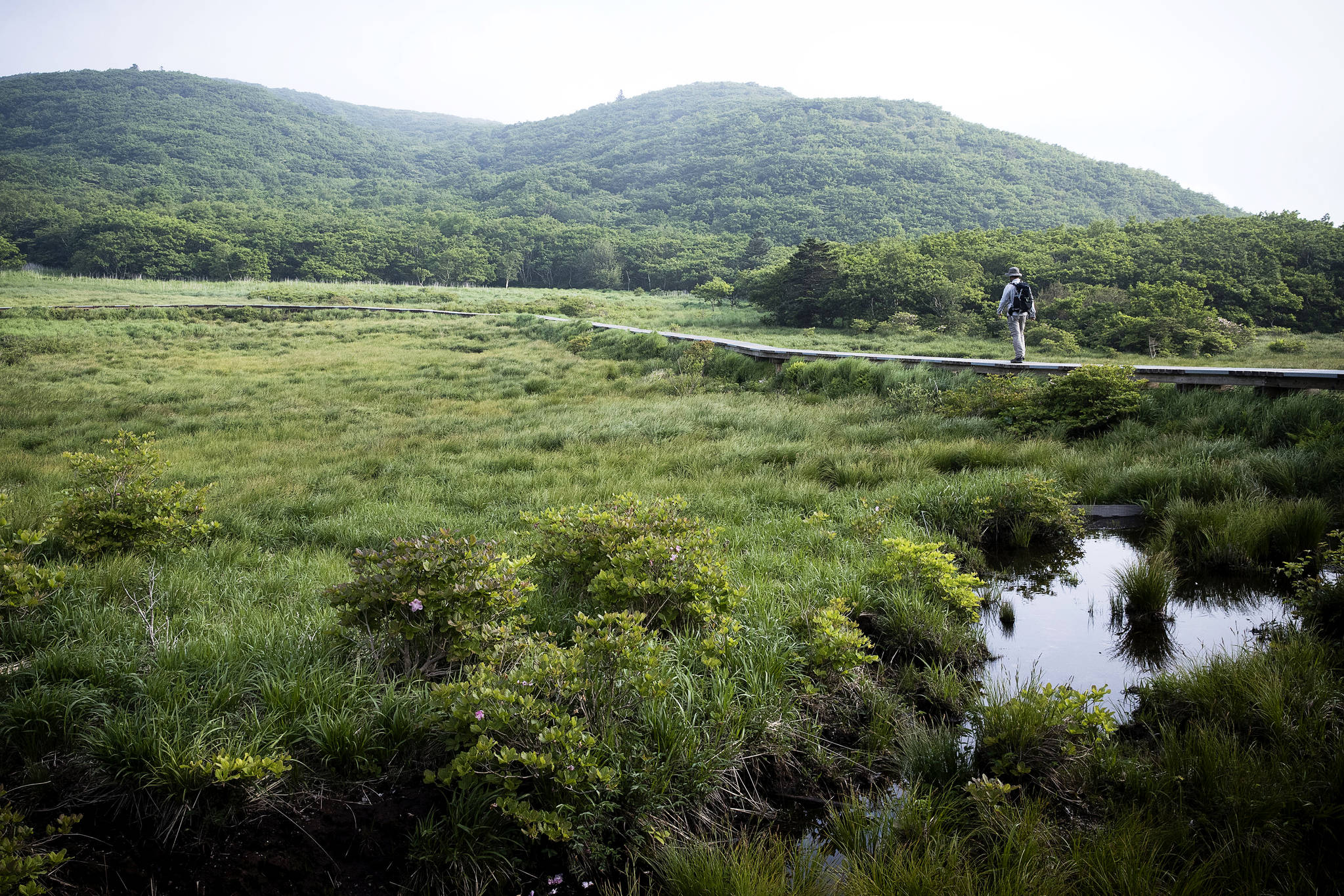 대암산 정상부에 있는 한국 1호 람사르 습지 '용늪'은 하루 250명만 오를 수 있는 진귀한 생태관광지다. 아무리 날이 가물어도 물이 마르지 않는다. [장진영 기자]