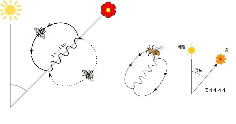 꿀을 얻을 수 있는 꽃의 위치를 동료들에게 알리기 위해 벌은 8자 춤을 춘다. 8자 춤에는 꽃의 방향과 거리를 알려주는 내용이다. [중앙포토]
