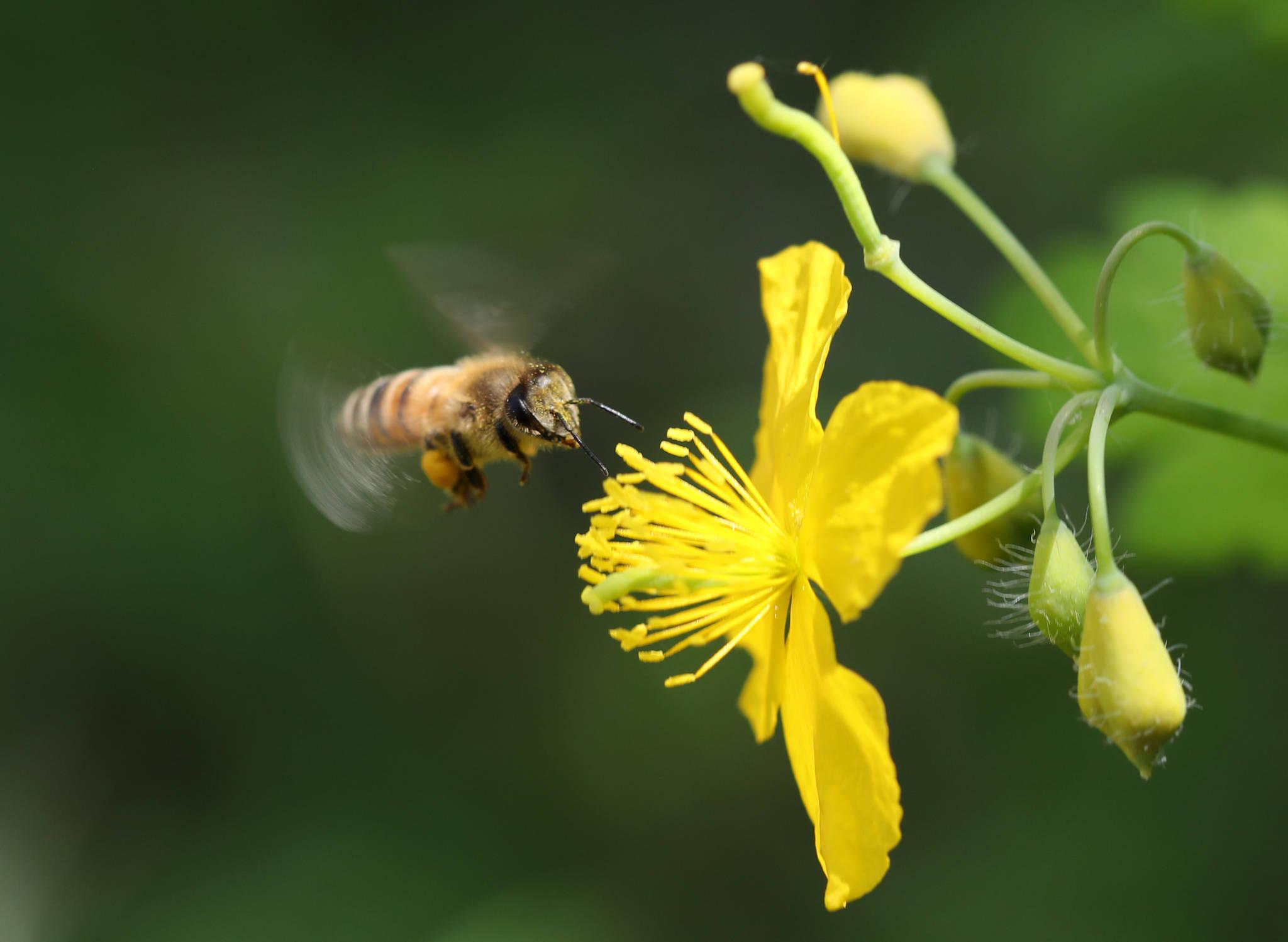 지난 5월 강원 춘천시 온의동 산책길에 만난 애기똥풀의 꽃에서 꿀벌이 꿀을 찾고 있다. 꿀벌의 다리에는 애기똥풀의 노란 꽃가루가 잔뜩 묻어 있다. [연합뉴스]