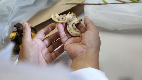 마다가스카르 바나나를 발견한 큐 왕립식물원은 씨가 있는 야생 바나나 유전자를 연구해 새로운 종의 바나나를 만들기 위한 연구를 하고 있다. [출처 큐왕립식물원]