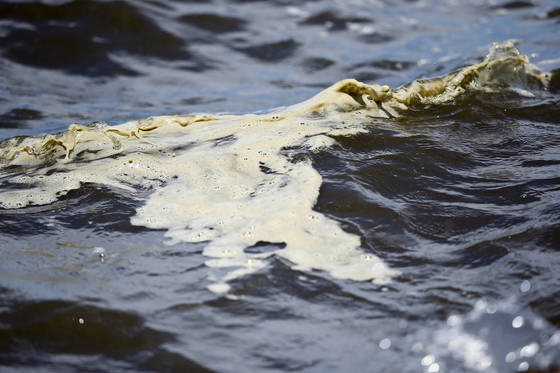 지난 10일(현지시간) 미국 플로리다 오케초비 호수에서 녹조류가 물결에 밀려오고 있다. [AP=연합뉴스]