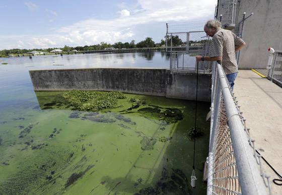 마이애미 대한의 한 교수가 12일 미국 플로리다 Caloosahatchee 강 프랭크린 둑에서 녹조 시료를 채취하고 있다. [AP=연합뉴스]