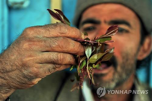 예멘 수도 사나 외곽 지역에서 한 남성이 카트 잎을 씹고 있다. 언론보도에 따르면 예멘의 시민단체들은 최근 인터넷 사이트와 각종 SNS를 통해 카트 씹는 풍속을 없애자는 캠페인을 벌이기 시작했다. 예멘 성인 남성의 90퍼센트 이상이 즐기는 카트는 마약성분이 함유되어 있는 포플러의 일종이다. (EPA=연합뉴스)