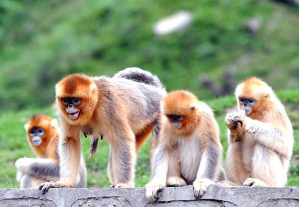 [사진] 중국의 국가보호 동물인 황금원숭이