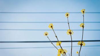 [남은 이야기] 산수유꽃이 그린 봄의 악보