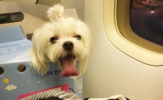 이솔샘(27)씨의 반려견 `구름이`는 올 가을 일본 오키나와 여행을 준비 중이다. 비행기를 타고 국내 여행은 여러번 가봤지만 해외여행은 처음이다. 사진은 2014년 여름 대한항공 국내선을 타고 제주도로 여행을 떠나는 모습.