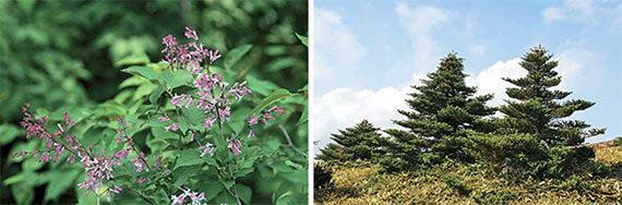 한국 토종이지만 외국으로 빠져나가 개량된 미스킴라일락과 구상나무(오른쪽). [사진 생명공학연구원]