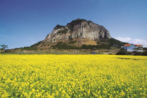 산방산 앞으로 펼쳐진 노란 유채꽃밭.