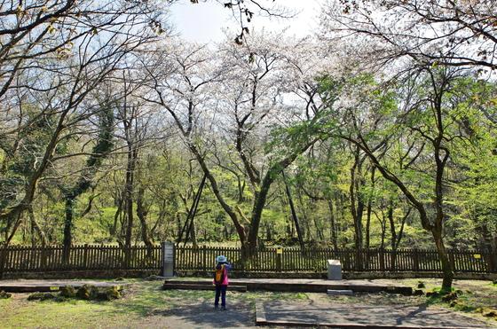 관음사에 있는 왕벚나무 '기준어미나무'.