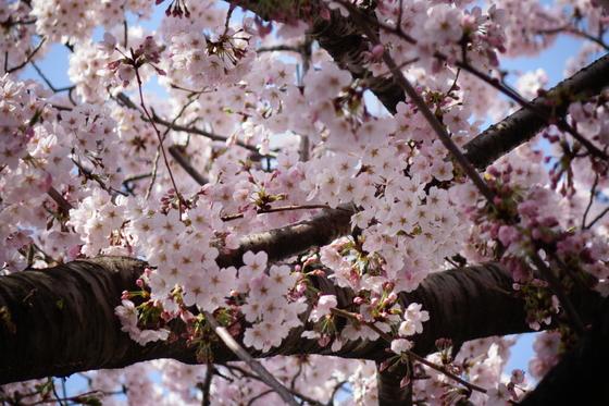 4월 제주에는 왕벚나무에 꽃이 만발한다.