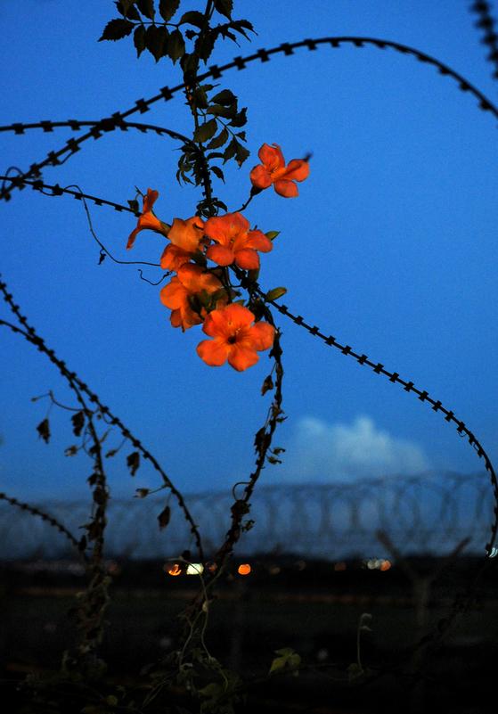 임진강 주변 철조망을 타고 핀 능소화를 담은 김 작가의 사진. 남북 자연은 이미 하나다. [사진 김녕만]