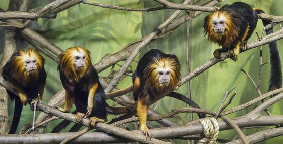 브라질 아마존 일부 지역에 사는 희귀 동물인 황금머리사자 타마린은 암컷이 무리를 이끈다. [사진 에버랜드]