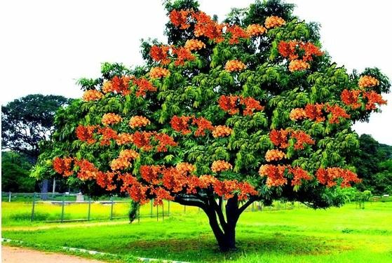 인도에서는 어렵지 않게 아소카 나무를 만날 수 있다. 잎이 화살처럼 뾰족하고, 붉은 꽃이 아름답다.