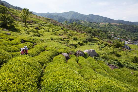하동 화개장터에서 쌍계사 가는 길에 있는 정금마을은 유기농 차 재배지로 유명하다.