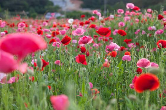 꽃양귀비는 5월의 여왕 장미에 견주어도 손색없다.