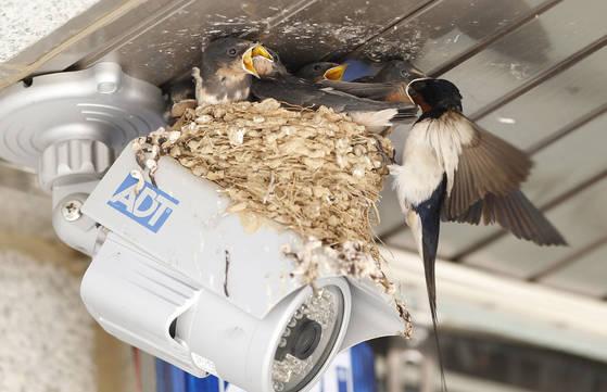 4일 경북 포항시 북구 기북면의 한 마을금고 CCTV 위에 둥지를 튼 제비가 무더위 속에 부지런히 먹이를 물어와 새끼들 입어 넣고 주고 있다. 포항=프리랜서 공정식