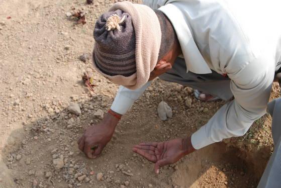 카필라 성터의 땅에서 출토된 숯이 된 볍씨를 인도인 관리인이 줍고 있다.