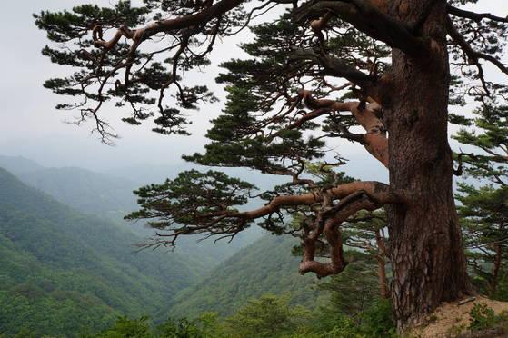 울진 금강소나무 숲길.