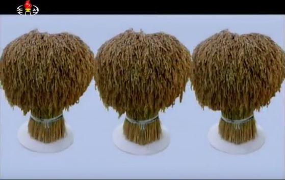 """조선중앙TV는 """"'띄우기식 수상재배 방식'으로 생산된 벼의 영양성분·중금속함량은 논벼와 차이가 없어 안전기준에 도달했다""""고 전했다. [사진 조선중앙TV]"""