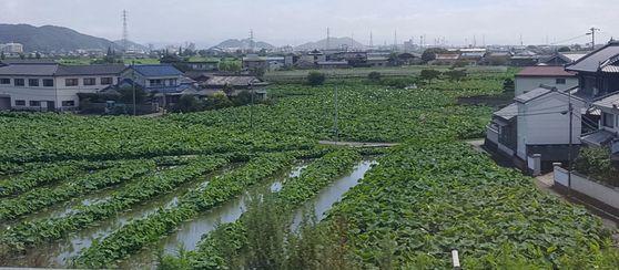 차창밖으로 끝도 없이 이어진 연꽃밭. 도쿠시마 특산품 중 하나가 이 연꽃밭에서 나오는 연근이다.