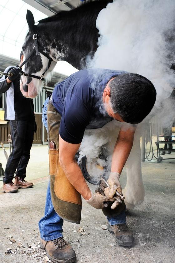 말 발굽을 잘라주고 편자를 달아주는 장제 작업. [사진 한국마사회]