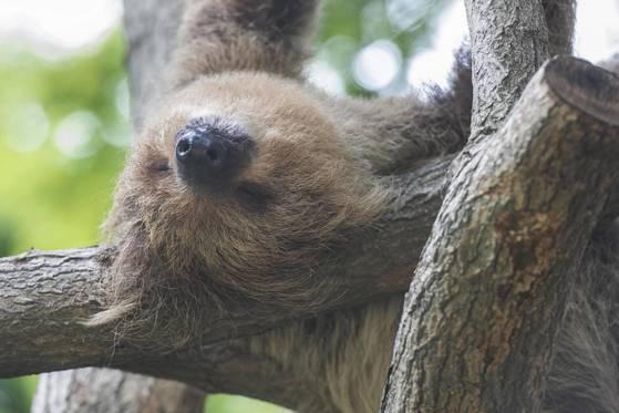 잠을 자고 있는 수컷 나무늘보 얼음. 새끼 나무늘보들의 아빠이자 무리를 이끄는 우두머리다. [사진 에버랜드]