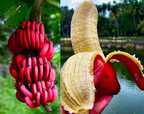 캐번디시, 그로미셸 외에도 야생에 존재하는 바나나의 종류는 많다. 때문에 바나나 종 자체가 멸종할 가능성은 그리 크지 않은 편이다. 사진은 레드 바나나 [중앙포토]