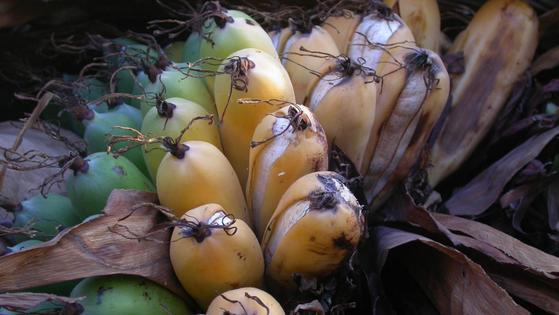 영국의 큐 왕립식물원 소속 과학자들이 발견한 '마다가스카르 바나나(Ensete Perrieri)'는 일반적으로 소비되는 캐번디시 바나나에 비해 크기가 작고 씨가 있는 것이 특징이다. [출처 큐왕립식물원]