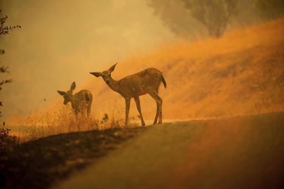 사슴들이 난연재로 덮힌 도로를 따라 걷고 있다. [AP=연합뉴스]