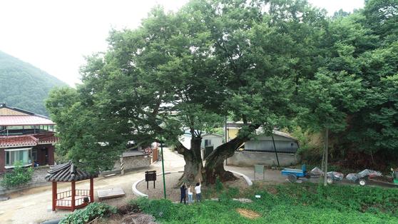 충북 영동군 학산면 박계리에 있는 독립군 나무. [사진 영동군]