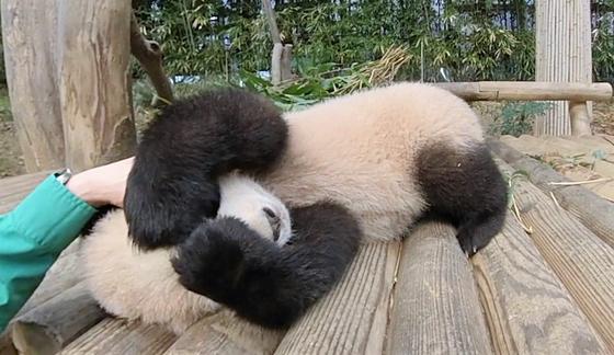 머리를 쓰다듬어 보자 … Baby Panda Fu Bao [VR 영상]