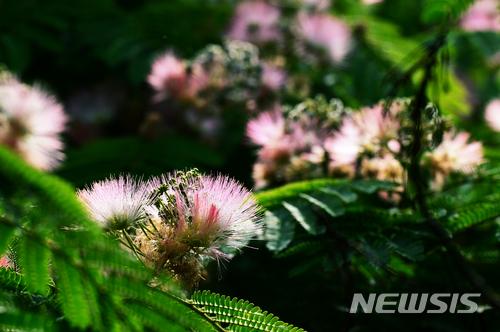 아름다운 자귀나무꽃