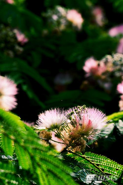 연분홍 아름다운 자귀나무꽃