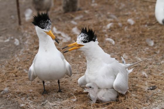 전남 영광 무인도에서 번식에 성공한 뿔제비갈매기. 어린 새가 부화된 지 이틀째 모습이다.[사진 국립생태원]
