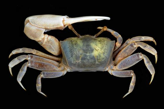 수컷 흰발농게. 한쪽 집게다리가 다른 쪽보다 훨씬 크다.[국립공원관리공단]