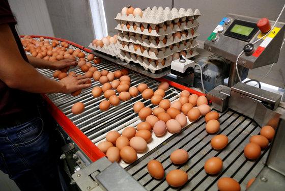살충제 '피프로닐' 성분에 오염된 계란이 시중에 유통된 사실이 발표되면서 유럽이 '살충제 계란'으로 홍역을 치르는 가운데 8일(현지시간) 벨기에의 한 농가에서 계란 검수를 하고 있다. [로이터=연합뉴스]