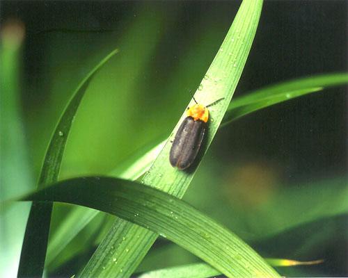 늦반딧불이. 반딧불이를 살리려면 먹이가 되는 다슬기가 하천에 살아야 하고, 또 물이 맑아야 한다. 반딧불이가 하천 생태계의 깃대종이 될 수 있는 이유다. [중앙포토]
