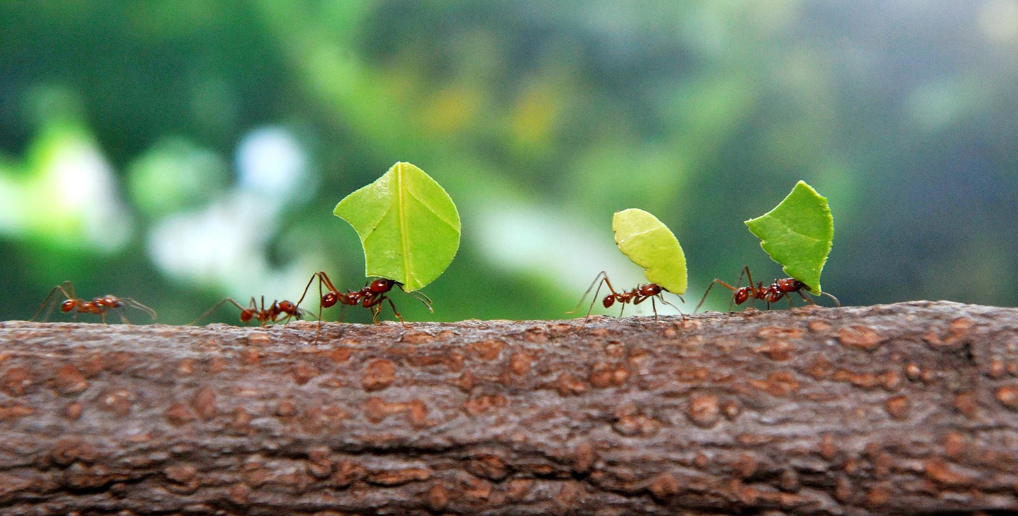 충남 서천 국립생태원에서 잎꾼개미들이 먹이로 쓸 사철나무 잎을 물고 집으로 이동하고 있다. [프리랜서 김성태]