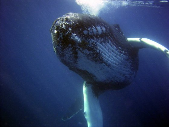 아름다운 '고래의 노래'를 부르는 것으로 유명한 혹등고래. [사진=국립수산과학원 고래연구소·국제자연보호연맹·국제포경위원회·세계자연기금]