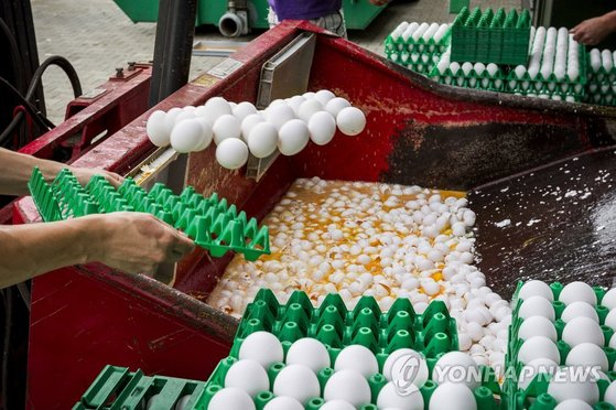 식용 동물에 사용이 금지된 피프로닐 성분에 오염돼 네덜란드 농장에서 폐기되고 있는 달걀. [EPA=연합뉴스]