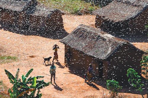 아프리카 마다가스카르를 습격한 메뚜기 떼.[중앙포토]