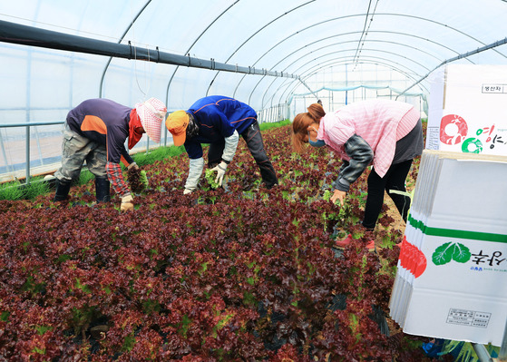 베트남 근로자들이 지난 5월 경북 영양군 농가에서 상추 수확을 돕고 있다. [사진 영양군]