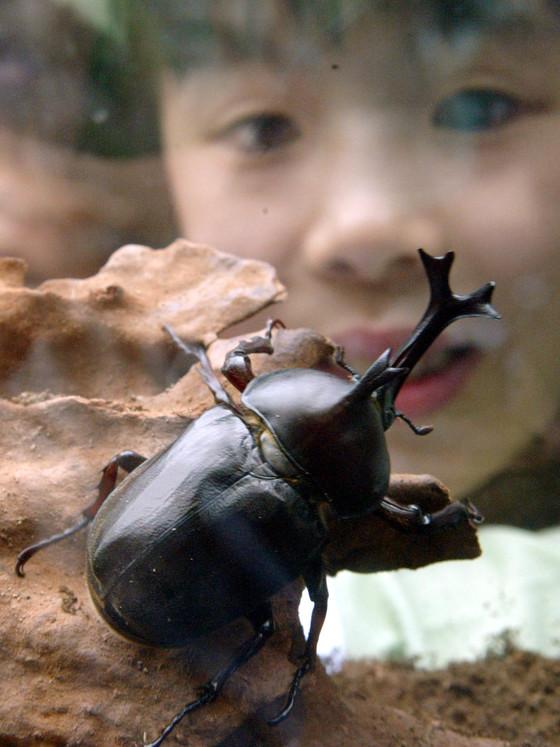 이색곤충 체험장에서 왕사슴벌레를 관심 깊게 지켜보는 어린이.[중앙포토]