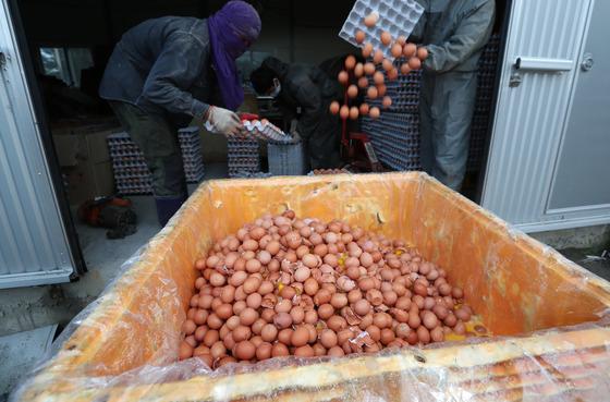 경기도 남양군청 직원들이 15일 오후 살충제에 들어가는 '피프로닐' 성분이 검출된 한 농가의 계란들을 수거, 폐기하고 있다. 남양주=최승식 기자