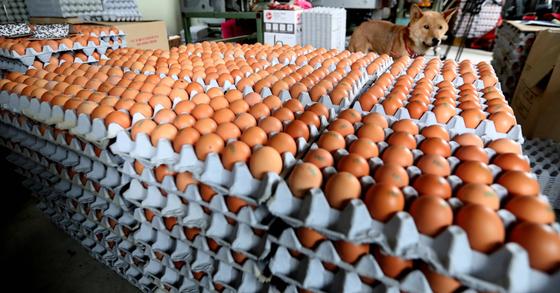 살충제 파동으로 출하가 중단된 계란. 최승식 기자