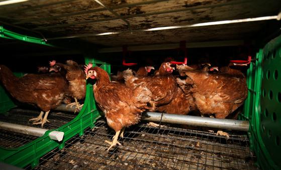 전남 보성군에 있는 동물 복지형 산란계 농장 구쁘팜의 계사. 프리랜서 장정필