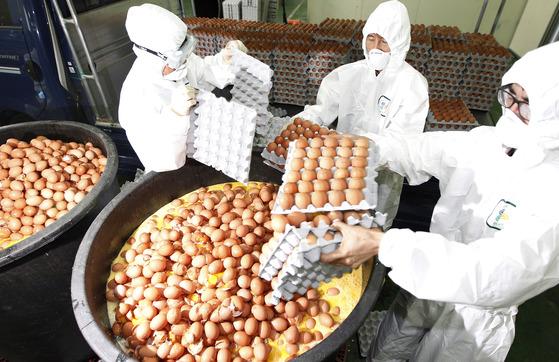 살충제 성분인 비펜트린이 허용치를 초과한 경북 칠곡군 농가 3곳의 계란을 17일 전량 폐기하고 있다. 프리랜서 공정식