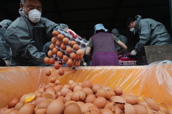 살충제 성분이 검출돼 폐기되는 계란 [연합뉴스]